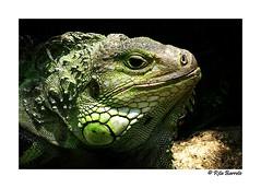 + Iguana (Rita Barreto) Tags: animal iguana ar1 araquem