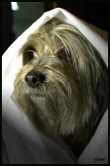 A l tambin le gustara salir a la calle con velo (Mara Baixauli) Tags: dog perro velo pelitos