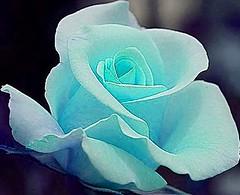 Tiffany Blue Rose (bluehazyjunem) Tags: blue summer rose tiffany 2007 blueribbonwinner abigfave megashot floralfavorites