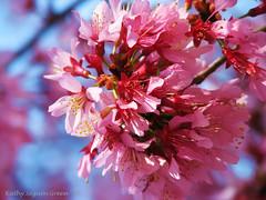 Blue Bokeh (klg1309) Tags: pink flower tree spring blooms soe excellenceinfloralphotography golddragon supershots anawesomeshot impressedbeauty blueribbonphotography diamondclassphotographer flickrdiamond betterthangood dragongoldaward allkindsofbeauty explorewinnersoftheworld