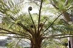 Jardim Botnico, Funchal, Madeira (samo_wi) Tags: botanicgarden madeira funchal botanischergarten baumfarn jardimbotnico cyatheales