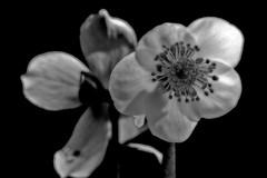 Helleborus Niger BW Orton (efgepe) Tags: flowers bw pflanzen schwarzweiss orton