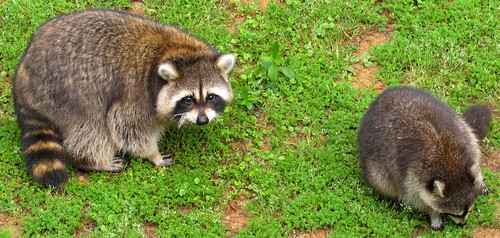 CrabAppleLane Raccoons - April 6, 2008
