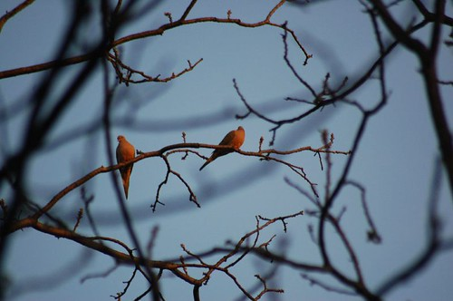 Mourning Doves at almost dusk