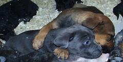 Jack & Mastweiler Puppy (muslovedogs) Tags: dogs puppy canecorso mastweiler zeusoffspring maggieoffspring rexoffspring myladyoffspring