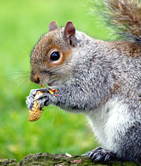The Squirrels are back...:O))) (law_keven) Tags: england london nature animals furry squirrels wildlife nuts goldstaraward