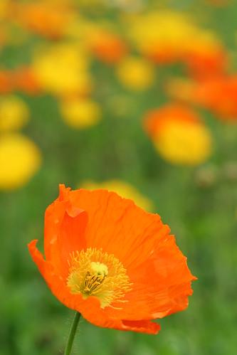 poppy: orange
