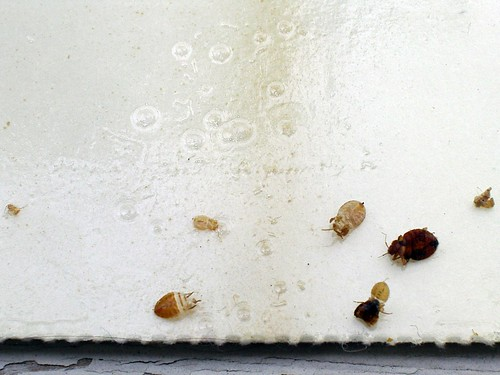 Bed Bug Shells