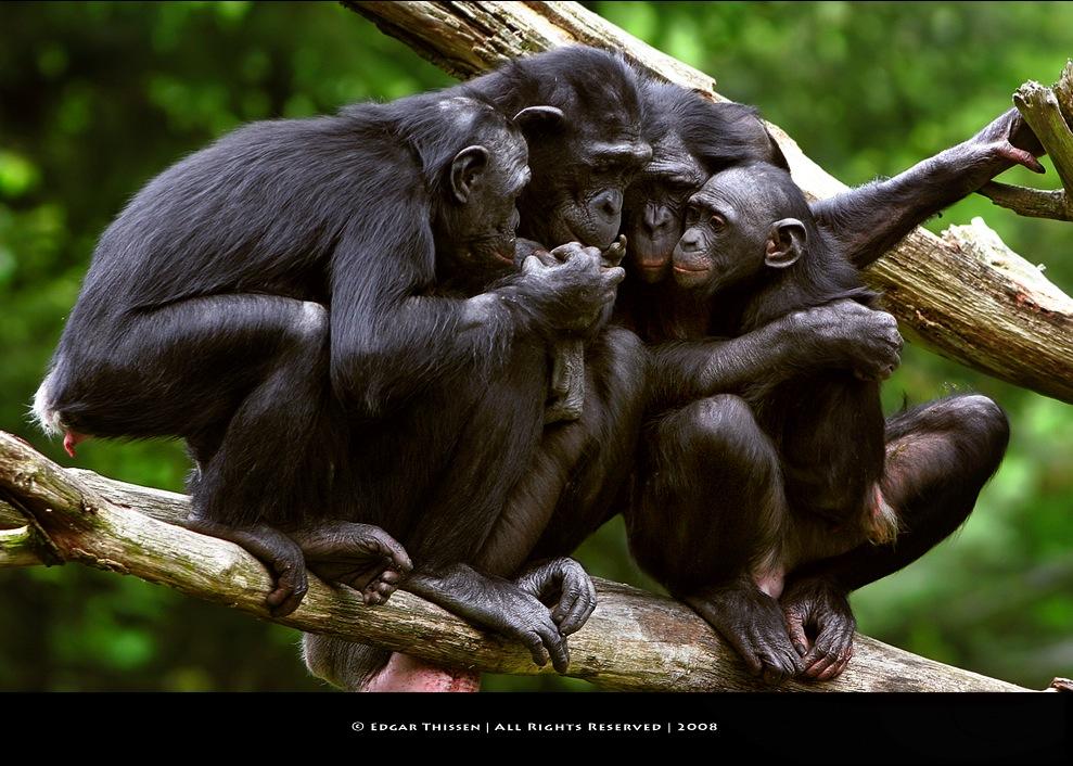 Шимпанзе секс онлайн