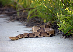 Copperhead (ryball78) Tags: nature animals snake reptiles copperhead