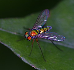 fly (Troup1) Tags: macro insect fly natue flyinginsect