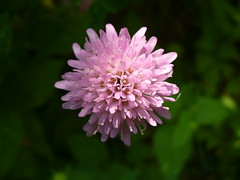 red clover      (amivan) Tags: red photo clover fullface