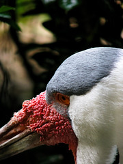 I'm Not Pretty--I'm Pretty Spectacular!!! (twoheartsapart) Tags: bird crane sensational wattle nationalzoodc excapture