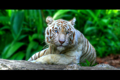 The White Princess (Raj Vimal) Tags: wild love beautiful animals forest canon singapore dof gorgeous blueeyes dev pure hdr whitetiger raj singaporezoo vimal interstingness sigma70300 mywinners diamondclassphotographer flickrdiamond overtheexcellence goldstaraward rajvimal