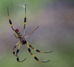 Female Banana Spider (photochuck) Tags: is sunday everyday naturescall yourvisions gaveyachills treeofhonor