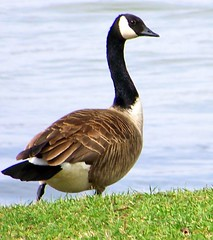 Hope you had a great weekend! (Lisa Ann Photography) Tags: green grass river goose canadiangoose