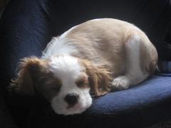 Shhh puppy busy sleeping (Bogart Cat) Tags: sleeping oadby kingcharlescavalier