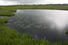 カキツバタの沼