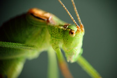 """My friend the Grasshopper"" (Sander Copier) Tags: macro green netherlands grass canon lens eos 350d 50mm groen nederland grasshopper copier compact nieuwegein sprinkhaan sander spectacularmacro"