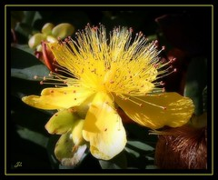 Yellow Flower (bonksie61) Tags: flower yellow canon smörgåsbord naturesfinest digitalcameraclub almostanything peachofashot