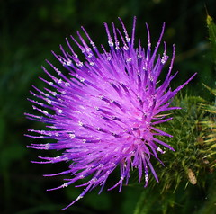 Thistle Head (Phil-Clements) Tags: flower macro closeup countryside weed purple blossom thistle mauve pollen prickly spikes hedgerow excellence spearthistle 100pics flowerotica bokehlicious aplusphoto theunforgettablepictures awesomeblossoms