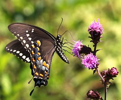 Spicebush Swallowtail on Blazing Star (DrPhotoMoto) Tags: nc july northcarolina soe asteraceae liatris papilio spicebushswallowtail naturesfinest blazingstar richmondcounty liatrisspicata troilus papiliotroilus top20flowersandbugs aplusphoto spectacularmacro 37moto
