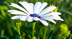 flowers_African Daisy.jpg (HVargas) Tags: flowers flores flower color macro beautiful closeup daisies canon lens eos newjersey flickr ray branch flor fave sunflowers daisy africandaisy canoneos photoshopelements efs60mm canoneos5d canonlens canonmacro exemplary amazingshot canonef180mm flowerotica flickrsbest fantasticflower digifoto golddragon abigfave flowertulip ef180mm anawesomeshot digitaleeanalogico flickrplatinum 07663 flickrenvy diamondclassphotographer flickrdiamond ringwoodnewjersey canoneos40d excellentphotographerawards flickrphotoaward newjerseybotanicalgarden canon40d amazinshots flowersmacroworld ef180mmf35lmacrousm flowersallkinds amazinglyaxed canonmacroef180mm auniverseofflowers floresprlapaz efmacro180mm