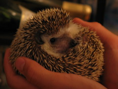 Safety (Indiana Joanna) Tags: sharif hedgehog biz
