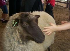 Petting a sheep