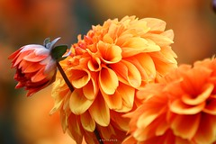 orange dahlia (PHOTOPHOB) Tags: dahlia flowers autumn summer orange plants plant flores flower color macro nature fleur beautiful beauty fleurs germany garden petals spring colorful flickr dof estate autum stuttgart blossom bokeh sommer herbst natur flor pflanze pflanzen blumen zomer verano bloom otoo blomma vero dalie t blume fiore blomst asteraceae outono dahlias dalia frhling bloem jesie floro kwiat killesberg dahlie lato lto sonbahar dahlien kvt blomman efterr blomsten dalio colorphotoaward aplusphoto photosandcalendar colourartaward natureselegantshots photophob wonderfulworldofflowers mimamorflowers awesomeblossoms