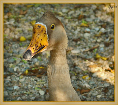 Model front view (G.hostbuster (Gigi)) Tags: animal goose animale papero
