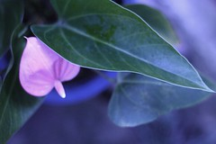 Heart and Heart and ... (miki *) Tags: plant flower nature japan canon bokeh 50mmf18 6013 eoskissx2 5mikesep