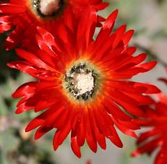 Dew Flower (Red Ice Plant) (philipbouchard) Tags: red flower macro garden succulent groundcover aizoaceae mesembryanthemaceae dewflower rediceplant drosanthemumspeciosum