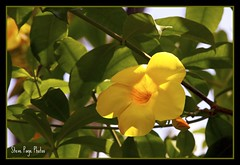 Back Lighting! (iTail ~ Steve Page) Tags: flower tree nature leaves yellow bloom soe centralflorida orlandoflorida naturesfinest blueribbonwinner itail bej beautifulexpression winterparkflorida mywinners abigfave platinumphoto anawesomeshot citrit theunforgettablepictures excellentsflowers natureselegantshots allkindsofbeauty mimamorflowers mallmixstaraward