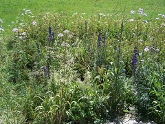 Des Aconits Napels (Sekhmet la Rouge) Tags: plante jura tourbire prnovel