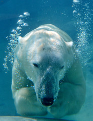 2939231500 cfde37336c m Its Not Just Polar Bears