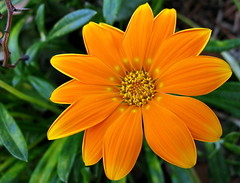 Orange gazania. (JannK) Tags: flower socal gazania southerncalifornia goldstaraward excellentsflowers natureselegantshots explorewinnersoftheworld mimamorflowers awesomeblossoms kunstplatzlinternational flickrflorescloseupmacros panoramafotogrfico