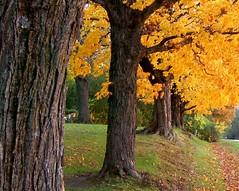 Yellow trees in a row (rr_rocketman) Tags: nature minnesota d50 pgw 123nature aplusphoto heartawards naturewatcher happinessconservancy rrrocketman ilovemypics