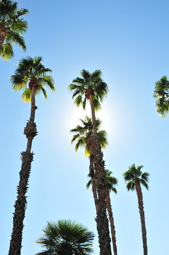 Palm Trees from Palm Springs