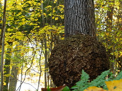 peculiar burl autumn scene