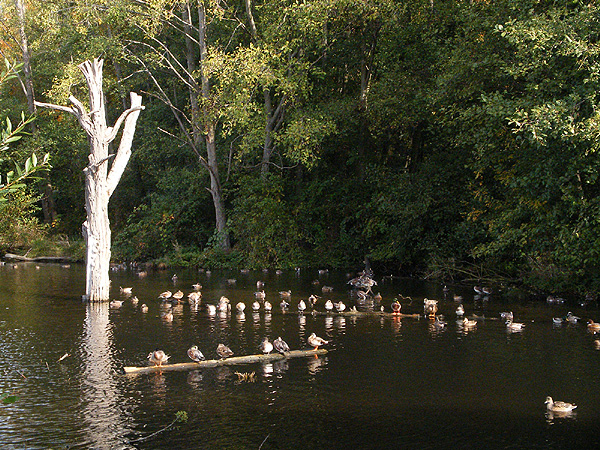 Duck gathering