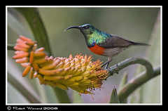 Greater Double Collared Sunbird - Cinnyris afer (Robert Wienand - www.krugerparksafari.com) Tags: africa greaterdoublecollaredsunbird cinnyrisafer sunbirds krugerparksafarisbirds