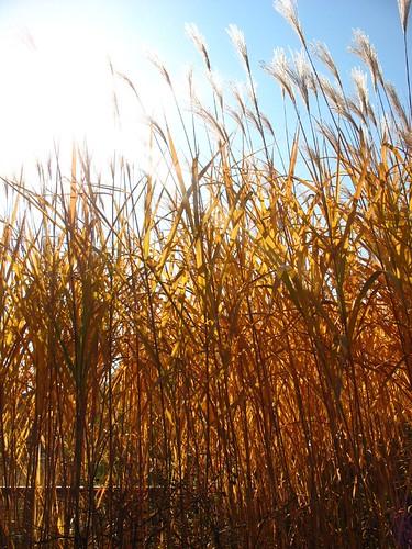 sunny tall grass