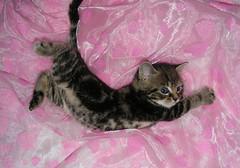 Cat Acrobatics (Julia-D) Tags: pet pets cute cat kitten kat funny chat gato mao gata neko katze gatto kot  gattina chaton gattino gatta   koneko kotchka cc100 abigfave katzchen