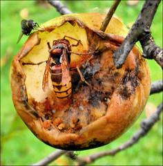 mela marcia - rotten apple               De gu...
