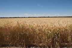 Cunningham Highway (yewenyi) Tags: trip holiday field farm wheat farming australia crop qld queensland aus paddock cunninghamhighway highway42 holiday2008 14kmnwofyelarbon