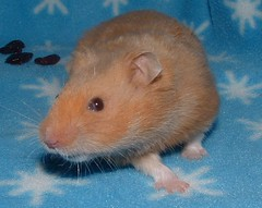 Logan (kikayume) Tags: logan hamsters rescues