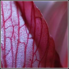 shine through (kubse) Tags: autumn light flower macro shine amaryllis naturesfinest sigma150 flowerotica platinumphoto betterthangood goldstaraward