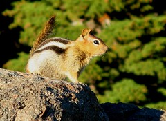 Golden-Mantled Ground Squirrel (zoniedude1) Tags: california cute nature animal mammal outdoors rodent furry hiking wildlife  trail critters twinlakes exploration groundsquirrel lassenvolcanicnationalpark naturesfinest goldenmantledgroundsquirrel canonpowershota710is natureselegantshots zoniedude1 imnotachipmunk butimjustascute earthcreatures
