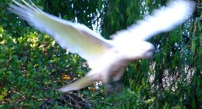 blurry cockatoo01